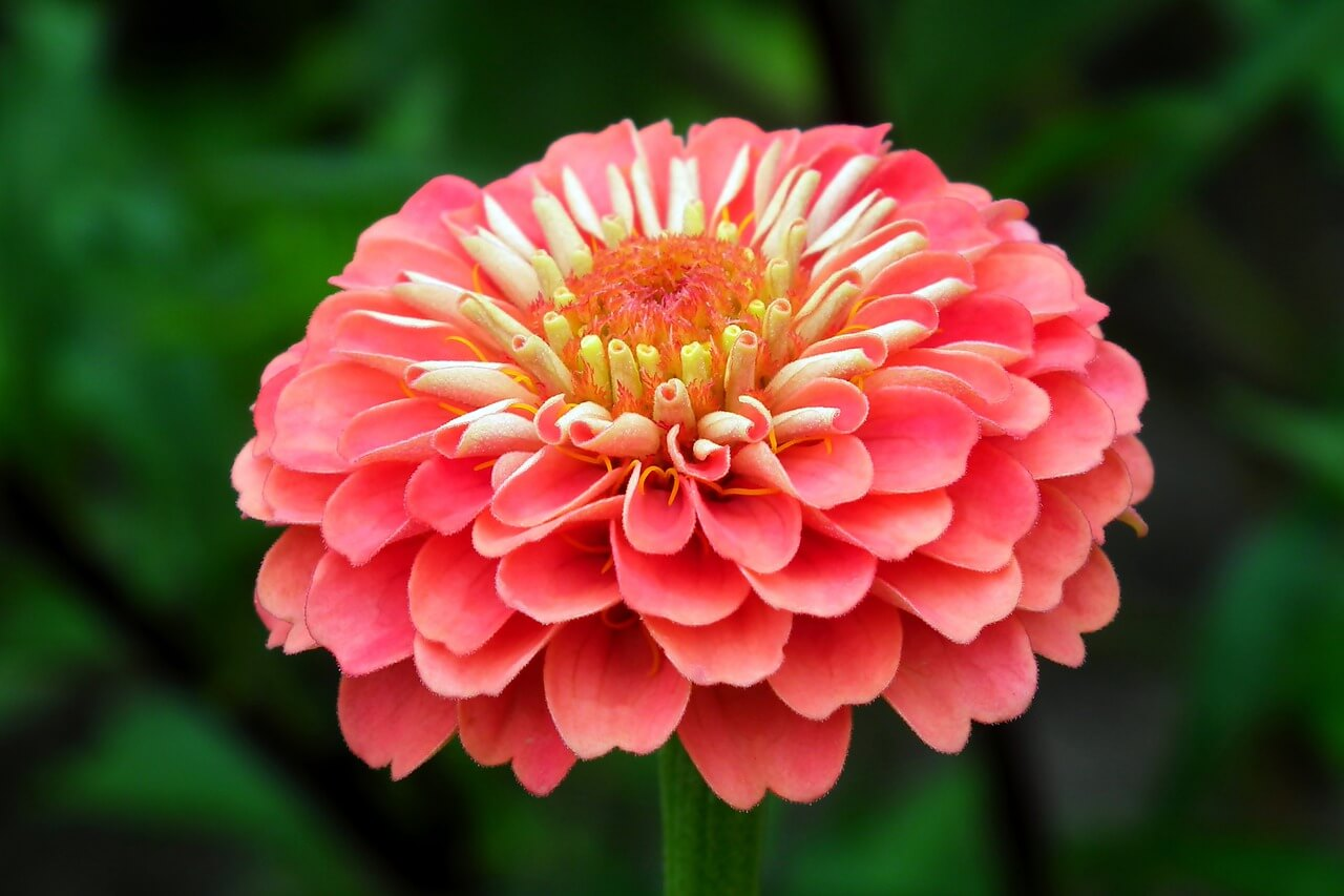 Best flower names for girls zinnia