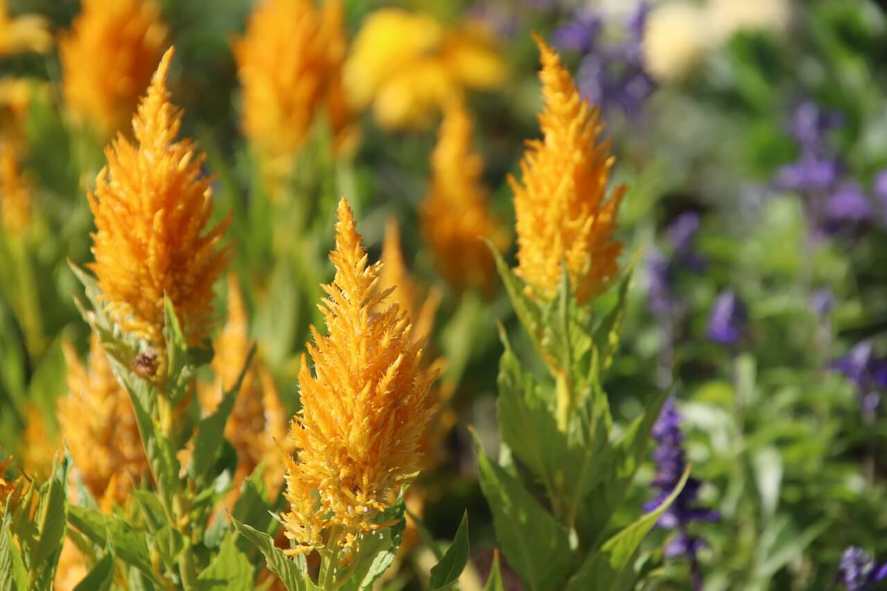 girls flower names celosia