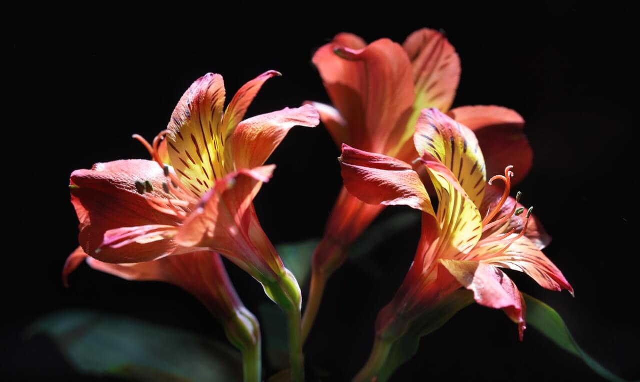 Alstroemeria - Aesthetic Lily Flower Names