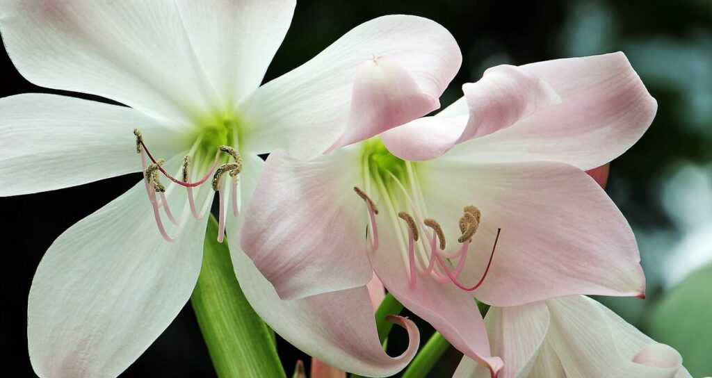 Amaryllis - Aesthetic Flowers Shop Names