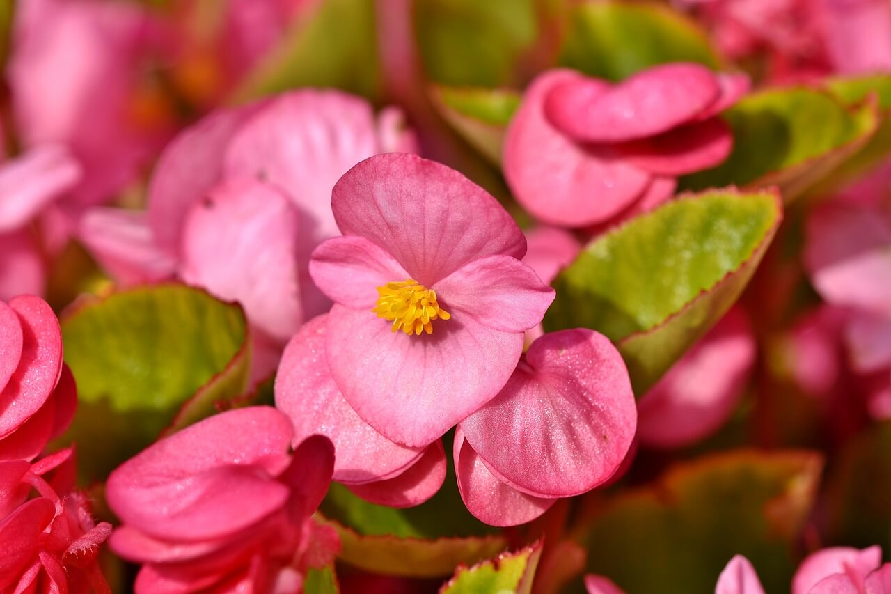 Begonia - Cool Aesthetic Flower Names