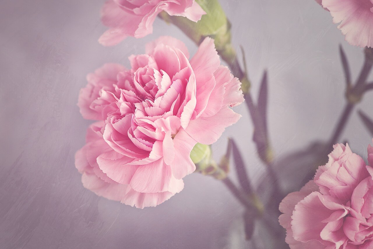 Carnation - Soft Aesthetic Flower Names
