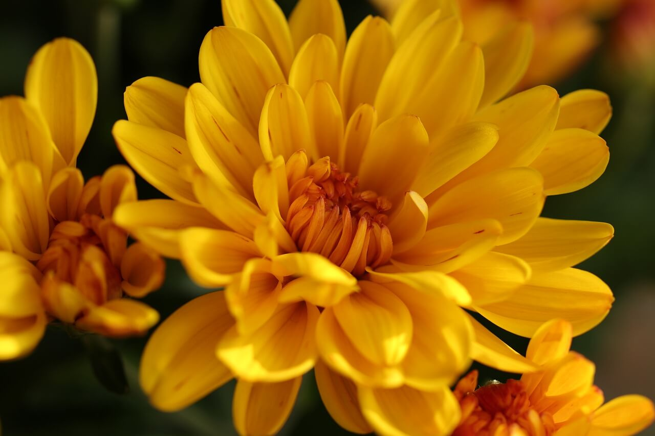 Chrysanthemum - Aesthetic Flower Names List