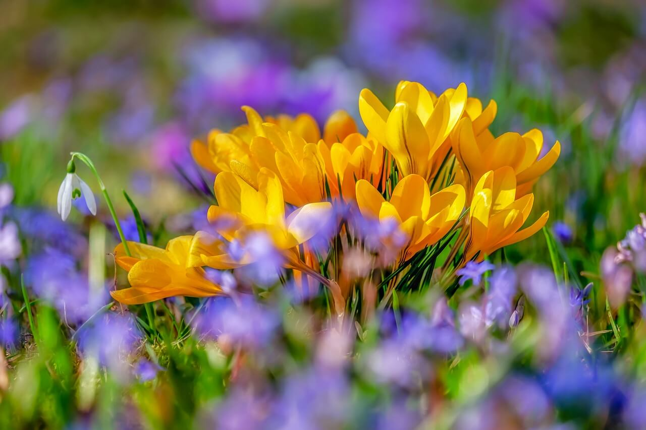 Crocus - Best Aesthetic Flower Names