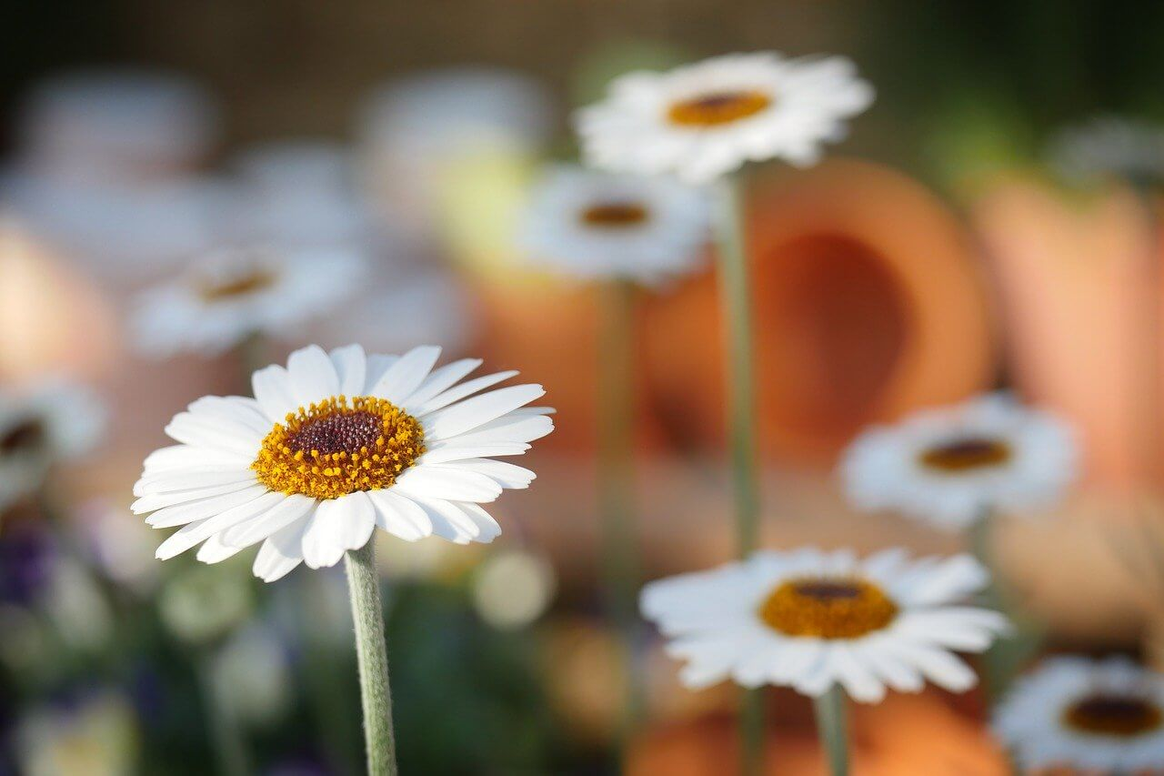 Daisy - Aesthetic Flower Names For Girls