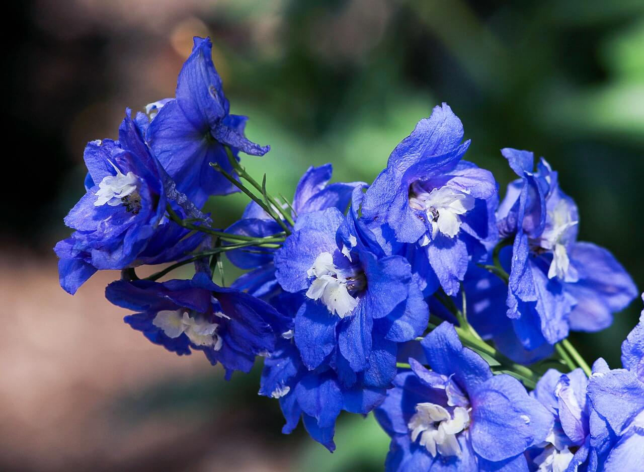 Delphinium - Aesthetic Names Of Flowers