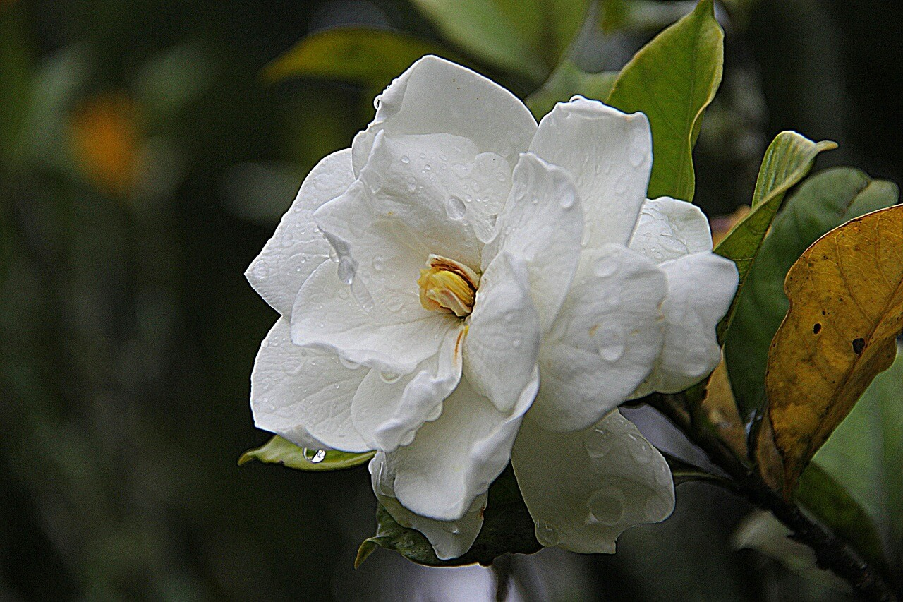 Gardenia - Best Aesthetic Flower Names