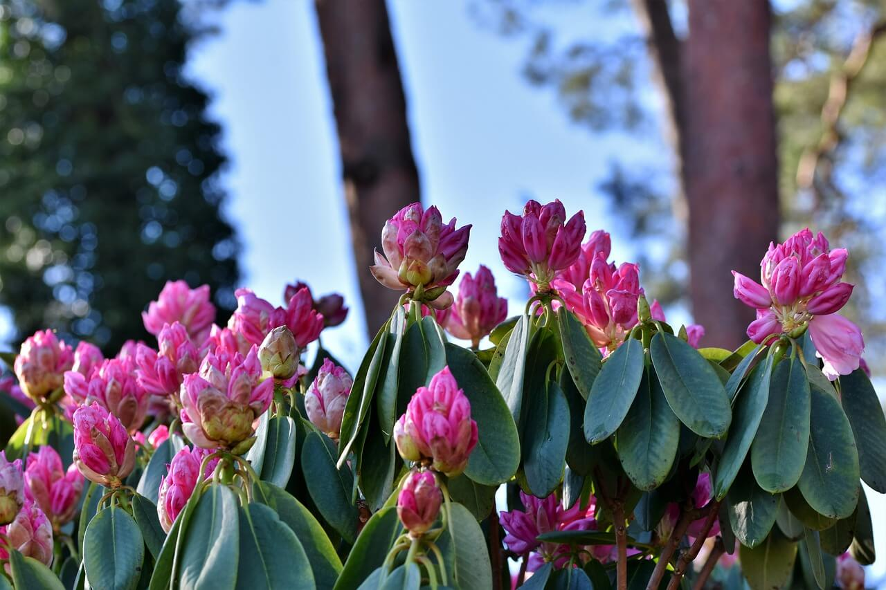 Rhododendron - Best Aesthetic Flower Names