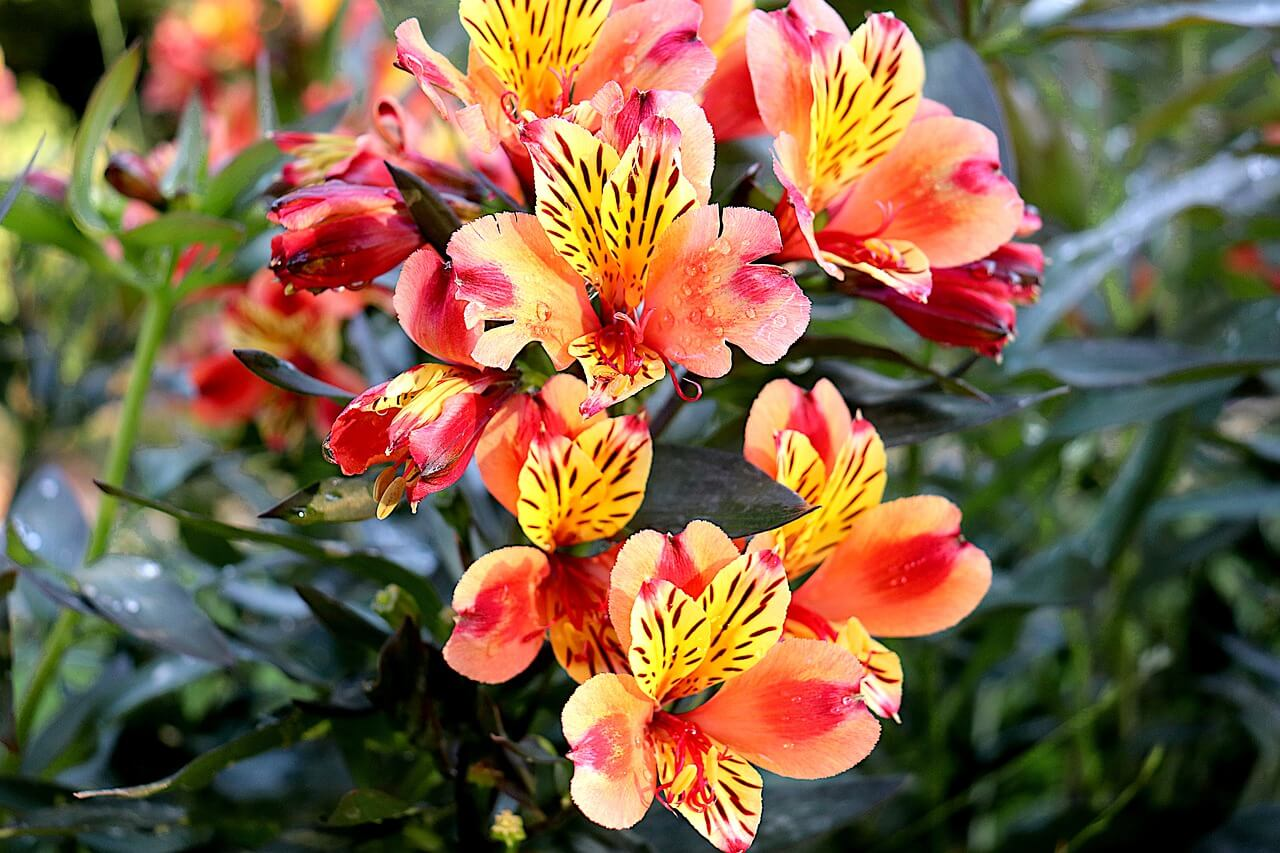 Freesia - Cute Aesthetic Flower Names